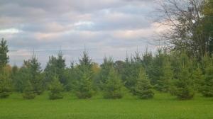 New Fir Forest
