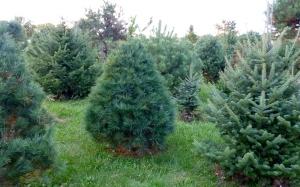 Scotch Pine/Canaan Fir